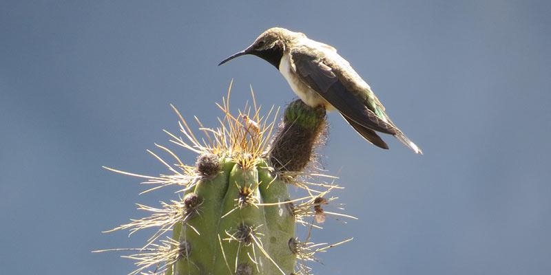 el-colibri-se-esforzo-y-desperto-a-amaru
