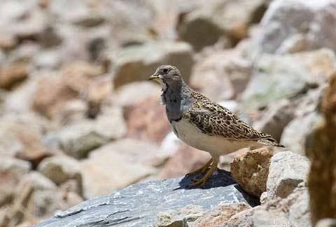 El-Puku-puku-es-un-ave-andina-que-compite-con-el-gallo