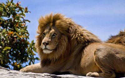 El león y el zorro: Y además no seas bocón