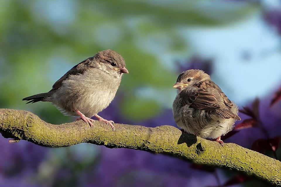 la-pareja-gorrion-recien-casada