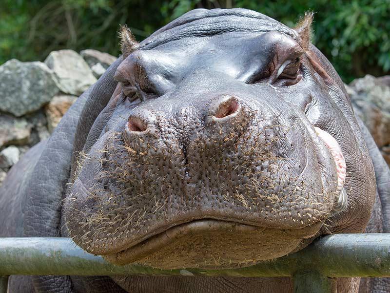 hipopotamo-que-jala-la-cuerda-contra-la-tortuga
