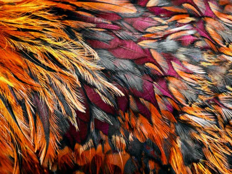 plumas-coloridas-de-una-gallina