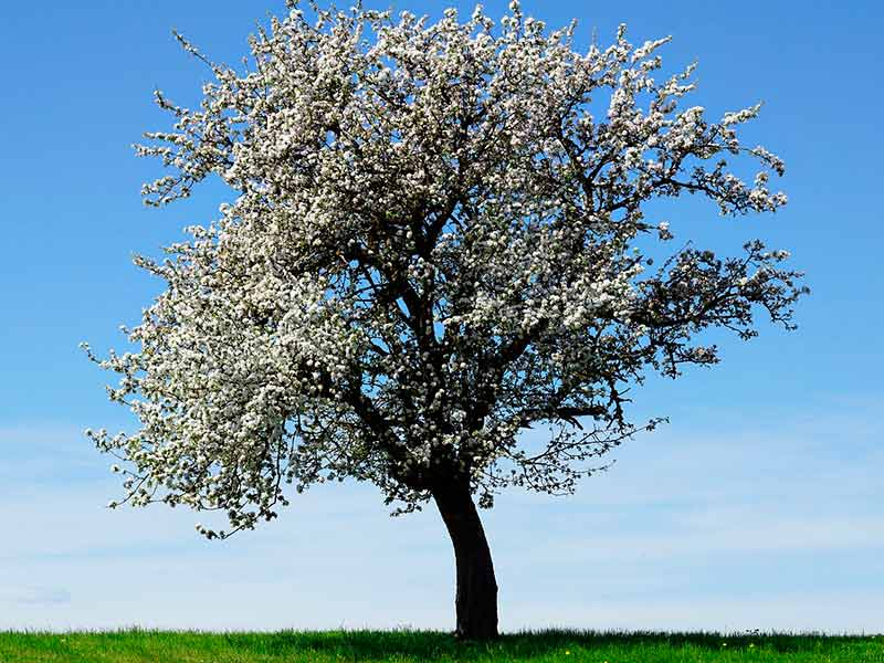 El árbol de Manzano
