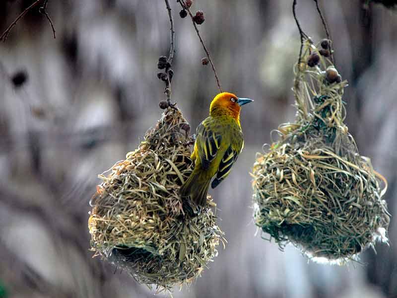 golondrina-en-su-nido-dentro-del-manzano