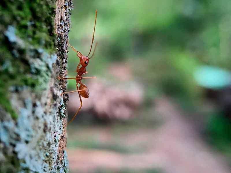 hormiga-subiendo-el-manzano